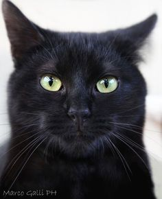 Black Cat photo by Marco Galli. All Black Cat, Cute Black Cats, White Cats, Black Kitty, Pretty Cats, Beautiful Cats, Animals Beautiful, Cute Animals, I Love Cats