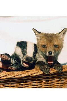30 Unlikely Animal Friendships | Stylist Magazine  -  After being treated at a wildlife hospital, this baby badger and fox cub became the firmest of friends.