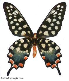 Madagascan Giant Swallowtail (Pharmacophagus / Papilio antenor)