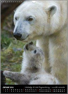 Eisbären im Zoo München für den Kunden-Tierkalender 2015 - Januar. Bear Cubs, Polar Bears, Animal Kingdom, Lions, Robins, Wild Animals, Foxes, Munich, Amazing