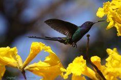 Série com o Beija-flor Tesoura (Eupetomena macroura) e o Ipê-amarelo (Tabebuia [chrysotricha or ochracea]) - Series with the Swallow-tailed Hummingbird and the Ipê, Poui, trumpet tree or Pau D'arco - 01-08-2010 - IMG_4944 | por Flávio Cruvinel Brandão