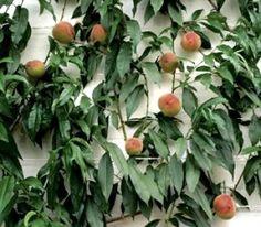 Peach Espalier