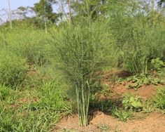 Asparagus Weed Control: Tips For Using Salt On Asparagus Weeds. Controlling weeds in the asparagus patch can be a challenge, and this article has tips on several approaches. Fall Vegetables To Plant, Home Grown Vegetables, Growing Vegetables, Asparagus Garden, Vegetable Garden, Organic Gardening, Gardening Tips, Organic Weed Control, Starting Seeds Indoors