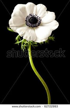Black and White Anemone Isolated on a Black Background - stock photo