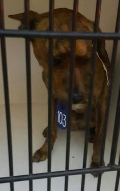 03/02/17-HOUSTON - SUPER URGENT - TRIGGER - ID#A478666 My name is TRIGGER I am a male, brown brindle and white German Shepherd Dog mix. The shelter staff think I am about 2 years old. I have been at the shelter since Mar 01, 2017. This information was refreshed 45 minutes ago and may not represent all of the animals at the Harris County Public Health and Environmental Services.