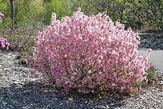 Rhododendron Mucronulatum Cornell Pink Height 5 Feet Spread Sunlight
