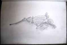 Wilting hibiscus(pencil)
