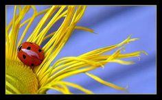 The little ladybug  By: Annika Lund