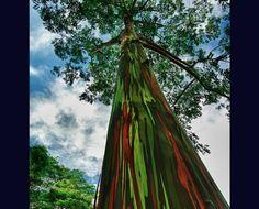 Eucalipto De Arco Iris  Este multicolor árbol posee una variedad de tonalidades parecidas a un arcoíris, porque su corteza se rompe en diferentes momentos, permitiendo así que el árbol envejezca de color diferente.4
