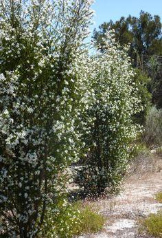 "Ricinocarpus hybrid ""Pencil Wedding Bush"", great as a hedge or screen"