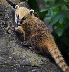 South American coati cub by Klaus Wiese on 500px