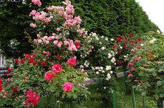 "english rose garden   Pflanzensuche   Rosen   Englische Rose ""English Garden"" ~ Rosa Hybr."