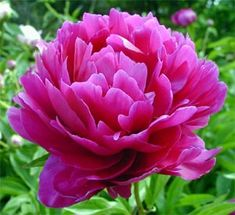 The smell of peonies is different in the city than on a farm.  The smell is intense and sweet.  It grew naturally, thank god, cause my mom killed all of our indoor plants.