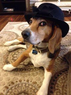 My suave Beagle.