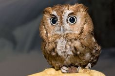 Anonymous said: Boggle, what kind of owl are you? Answer: I (loosely) based Boggle off of eastern screech owls! They're the kind of owl I used to see around when I was growing up. Cute Baby Owl, Baby Owls, Owl Babies, Animals And Pets, Baby Animals, Cute Animals, Beautiful Owl, Animals Beautiful, Elf Owl