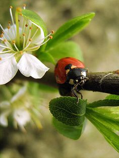 Lady Bird Beetle. The only insect I tolerate.