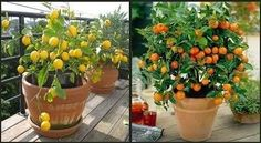 Growing Fruit Trees in Containers Is Easy - http://www.homesteadingfreedom.com/growing-fruit-trees-in-containers-is-easy/