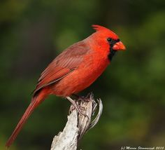 Northern Cardinal - one of my favorite birds