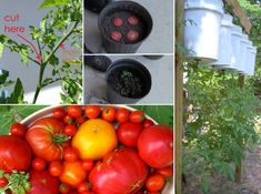 How To Root Tomato Plants Quickly