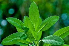 Sálvia (Salvia officinalis)   Cura pela Natureza.com.br