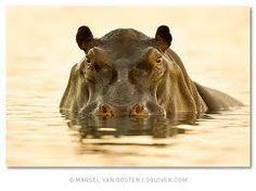 Namibia - Photos by Marsel van Oosten African Animals, African Safari, Wildlife Photography, Animal Photography, Foto Nature, Wild Nature, Out Of Africa, Mundo Animal, Hippopotamus