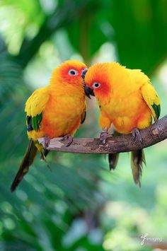 Sun Conures - whispering sweet nothings. Cute Birds, Pretty Birds, Beautiful Birds, Animals Beautiful, Beautiful Pictures, Exotic Birds, Colorful Birds, Cute Baby Animals, Animals And Pets