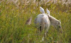 Balade à cheval dans les marais de Camargue