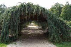 This tunnel is formed by a weeping Blue Atlas cedar.