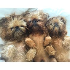 My three lovely #brusselsgriffon Billie Sushi and Gizmo.