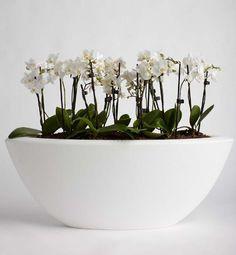 Phaelanopsis Orchid Boat Planter