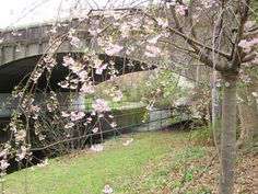 Arching Pinks by Bridge in Cherry Blossom Park photo by Virginia Varela