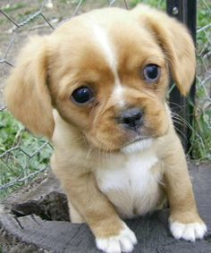 Pugalier: Pug and King Charles Cavalier cross. I'm into pug mixes lately but this wins! That is the cutest thing possible! Cute Pugs, Cute Puppies, Dogs And Puppies, Cutest Dogs, Pug Love, I Love Dogs, Pug Mixed Breeds, Pug Breed, Pug Cross