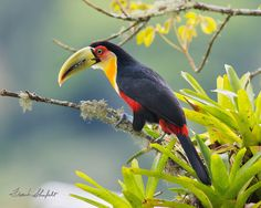 The Red Breasted Toucan (Ramphastos dicolorus) or Green-billed Toucan is fairly common in its range that includes the Atlantic forest of eastern and southern Brazil, eastern Paraguay and extreme northeastern Argentina. Its range is the southernmost of all toucans. Toucans eat mostly fruit therefore filling an ecological niche in that they aid in the dispersal of seed. Additionally, they will prey on insects, small reptiles and raid nests of other birds in order to add necessary protein to…
