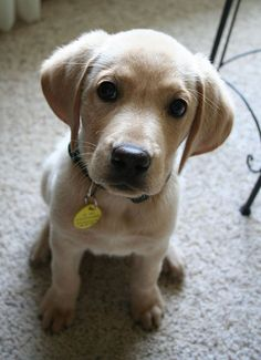 Golden retriever + Yellow lab mix - This is how Brandy looked as a baby. Puppies And Kitties, Lab Puppies, Cute Puppies, Cute Dogs, Doggies, Puppy Mix, Beautiful Dogs, Animals Beautiful, Baby Animals