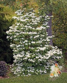Who can't use a narrow shrub that flowers like this and then puts out repeat blooms later in the summer?