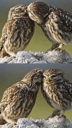 Owls kiss... @rt&misi@.
