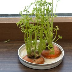 Gardening Indoor You don't have to wait until spring to learn about growing plants! Sprout carrot tops in your window sill (and enjoy a healthy snack! Gardening Tips, Indoor Gardening, Organic Gardening, Growing Carrots, Carrot Seeds, Carrot Top, Plant Science, Kindergarten Science, Preschool