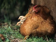 Luonnossa kanaemo huolehtii poikasistaan useita kuukausia.