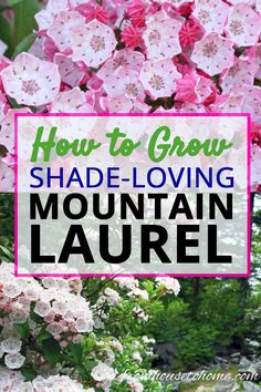 Mountain Laurel is an evergreen shrub that thrives in the shade and has beautiful flowers in the spring. I think every shade garden should have one! Click through to learn how easy it is to grow. #fromhousetohome #MountainLaurel #shadegarden #plants #gardeningtips