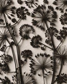 by Karl Blossfeldt Karl Blossfeldt, Patterns In Nature, Textures Patterns, Print Patterns, Deco Floral, Motif Floral, Fleurs Diy, Natural Forms, Natural Materials