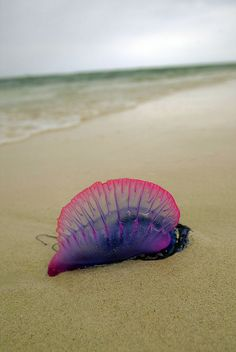 Similar to Australian Blue Bottle - looks to be larger.  They wash in with the tide and their long tentacle tail stings like hell when it is touching any bare human skin.