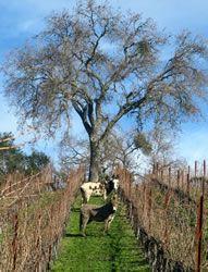 Fiona & Dottie eating the cover crop in the Biodynamic vineyard at Tablas Creek.