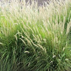 Chondropetalum tectorum great in planters along walls for Modern ornamental grasses
