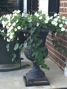 #ContainerGardening. White petunia and ivy in an urn <3 / #GreenDreams
