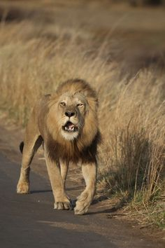 Volunteer with Via Volunteers in South Africa and check out the Big Five! Lion at Kruger National Park.