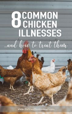 """8 Common Chicken Illnesses & How To Treat Them -- It happens to everyone at some point or another. You go and start your flock with a few chickens—everything in life is happy and grand. And then one day, you walk outside to a dead bird, a sick bird, or a """"what the heck is wrong with it"""" bird. That's when the death emotion..."""