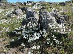Uruguay's wildlife & Natural sanctuaries - Santuarios naturales & flora y fauna indígena de Uruguay: Large white petunia / Petunia salvaje (Petunia axi...