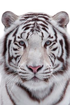 Eye to eye with a white bengal tiger