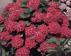 Image result for red hydrangea