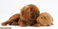 Pets: King Charles pup and red Guinea pig photo